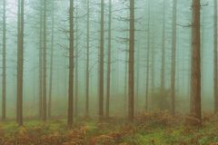 Vintage conifer forest with bare tree trunks and fog. Vintage conifer forest with a bare tree trunks and fog Royalty Free Stock Image