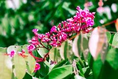 Vintage Coral Vine, plante grimpante mexicaine, chaîne de couleur en pastel d'amour Images stock