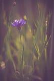 Vintage cornflower Stock Images