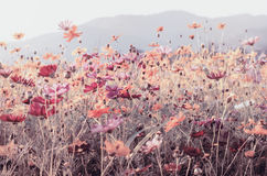 Vintage of cosmos flower background Royalty Free Stock Photography
