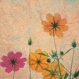 Vintage cosmos flower on cement textured background Royalty Free Stock Photos