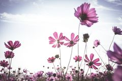 Vintage Cosmos flowers field Royalty Free Stock Photo