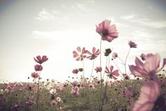 Vintage Cosmos flowers field Stock Images