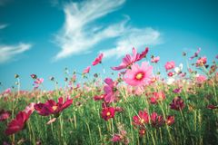 Vintage Cosmos flowers field Stock Image