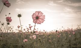 Vintage Cosmos flowers in sunset time Royalty Free Stock Image