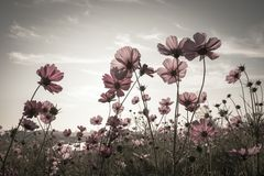 Vintage Cosmos flowers in sunset time Stock Photos