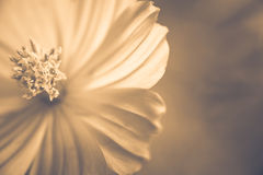 Vintage Cosmos Stock Photography