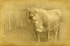 Vintage Cow Illustration Royalty Free Stock Images