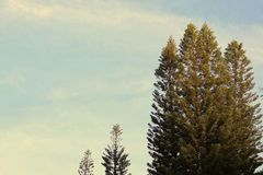 Vintage crescent pines trees with blue sky royalty free stock image