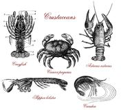 Crustacean vintage illustrated table. Vintage crustacean illustrated table with crayfish, lobster,crab and shrimps Royalty Free Stock Images