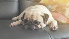 Vintage Cute dog pug puppy sleeping in sofa. With warm light Stock Photography