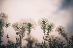 Vintage da flor branca Foto de Stock