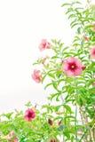 Vintage da planta das flores flores cor-de-rosa nos termas do jardim e da cópia Foto de Stock