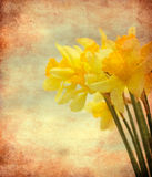 Vintage Daffodil flowers. Abstract textured closeup of daffodil flowers for vintage look Royalty Free Stock Photo