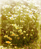 Vintage Daisies Stock Photo