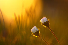 Vintage Daisy Flowers In Spring Sunset Stock Photo