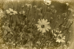 Vintage Daisy Photograph Royalty Free Stock Photography