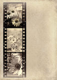 Daisy photos in film strip. Vintage daisy photos in old-fashioned filmstrip Stock Images