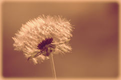Vintage Dandelion Stock Photography