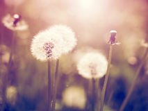 Vintage dandelions Stock Image