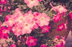 Vintage de la petunia o de Hybrida Vilm de la petunia Fotos de archivo libres de regalías