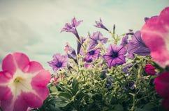 Vintage de la petunia o de Hybrida Vilm de la petunia Fotografía de archivo