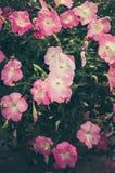 Vintage de la petunia o de Hybrida Vilm de la petunia Imágenes de archivo libres de regalías