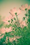 Vintage de las flores del cosmos Fotos de archivo