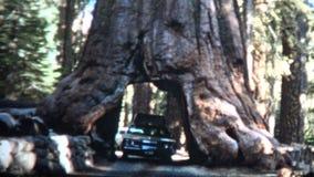 (vintage de 8mm) conduite 1966 par l'arbre la Californie de séquoia géant banque de vidéos