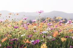 Vintage do fundo da flor do cosmos Fotos de Stock Royalty Free
