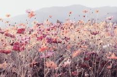 Vintage do fundo da flor do cosmos Fotografia de Stock Royalty Free