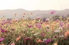 Vintage do fundo da flor do cosmos Imagem de Stock