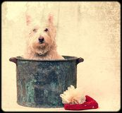 Vintage Dog Bath Time. A white terrier sitting in a wash tub in this vintage mood image Royalty Free Stock Photography