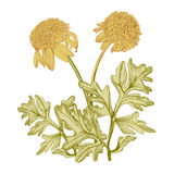 Vintage drawing  of yellow flowers Stock Photos