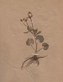 Vintage dried flower on paper dated 1896 Royalty Free Stock Photo