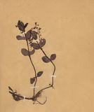 Vintage dried foliage flower on paper dated 1896 Stock Photos