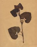 Vintage dried folliage flower on paper dated 1896 Royalty Free Stock Image