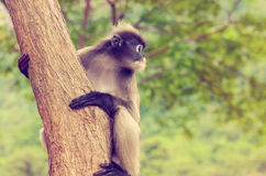 Vintage Dusky leaf monkey or Trachypithecus obscurus on tree Royalty Free Stock Photo