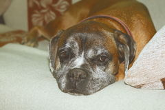 Vintage effect image of boxer breed sleeping on couch Royalty Free Stock Photography