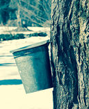 Vintage effect maple syrup bucket on tree with other buckets in Royalty Free Stock Image