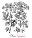 Vintage illustration of Aethusa cynapium or poison parsley. Vintage engraving of Aethusa cynapium or poison parsley, common weed poisonous plant with an Stock Photos