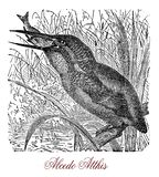 Common kingfisher, small bird with long bill, old print royalty free illustration