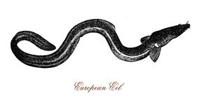 European eel, vintage illustration Royalty Free Stock Photography
