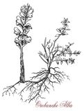 Thyme broomrape, parasitic plant, vintage print. Vintage engraving of orobanche alba or Thyme broomrape, parasitic plant with stems completely lacking Royalty Free Stock Photos