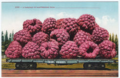 Vintage exaggeration postcard artwork giant raspberries 1900s 1910s Royalty Free Stock Photography