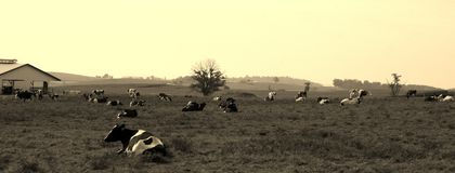 Vintage Farm. A vintage farm with the cows laying in the field Stock Images