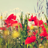 Vintage field of poppies Stock Photography