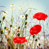 Vintage field of poppies Royalty Free Stock Images