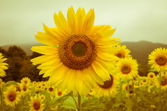 Vintage field of sunflowers Stock Image