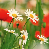 Vintage field of white camomiles Stock Image